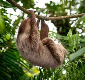 Südamerikas Faultiere im Amazonas