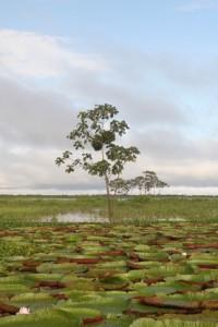 Der Rio Negro im tropischen Regenwald Brasiliens  1