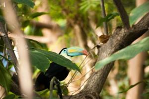 Südamerika - Tukan im Amazonasgebiet von Kolumbien