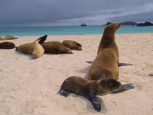 Seelöwen auf den Galapagos in Ecuador