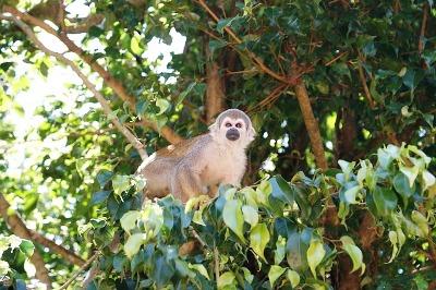 Affe in Peru