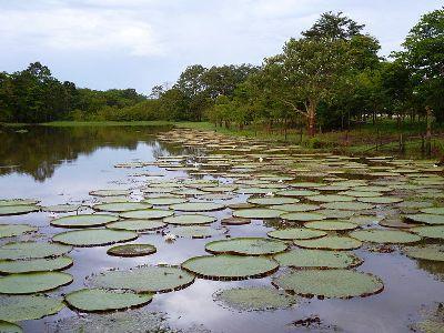 Pflanzen des Amazonas