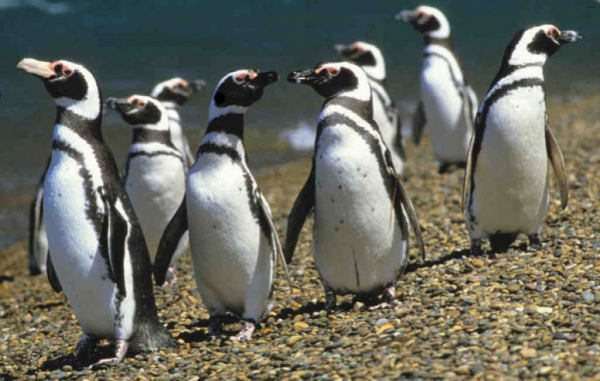 Pinguine Südamerikas